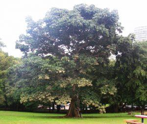 árboldePanamá
