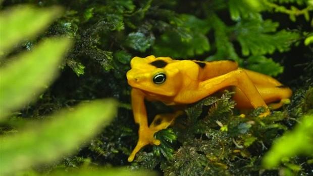 simbolos y atributos de panamá-rana dorada